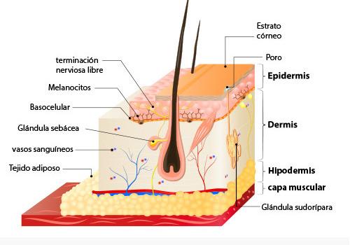 esquema de la piel